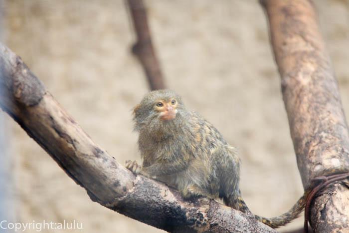 日本平動物園 ピグミーマーモセット サル