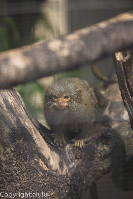 日本平動物園 さる ピグミーマーモセット