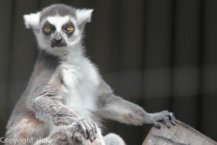 日本平動物園 さる サル ワオキツネザル