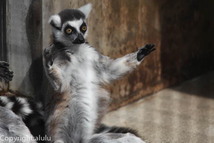マダガスカル サル ワオキツネザル