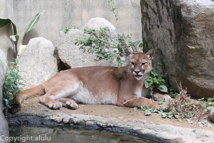とくしま動物園 ピューマ 画像