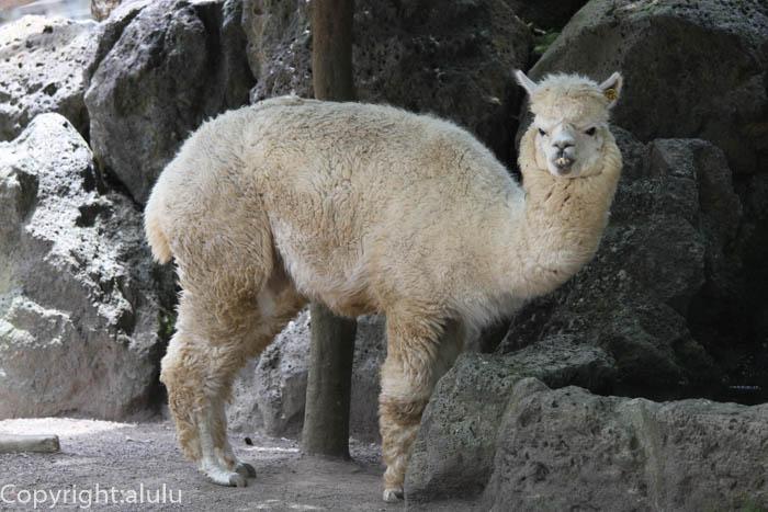 アルパカ 動物写真