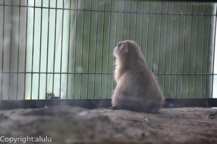 円山動物園 オグロプレーリードッグ