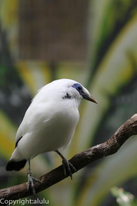 わんぱーくこうちアニマルランド 白い鳥 カンムリシロムク