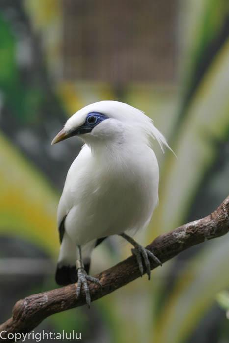 カンムリシロムク トリ 鳥類