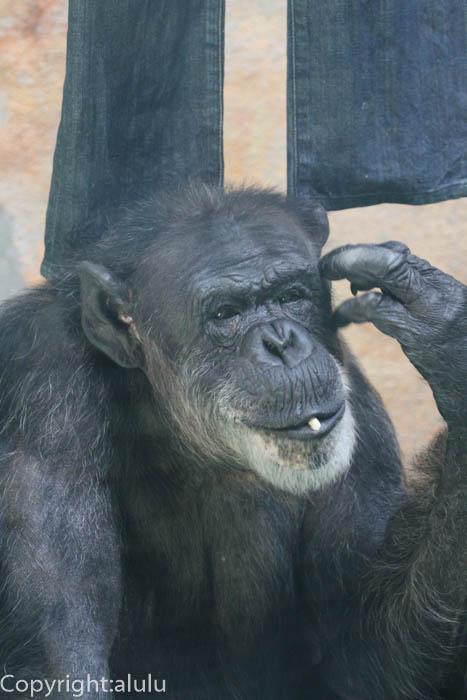 わんぱーくこうちアニマルランド チンパンジー