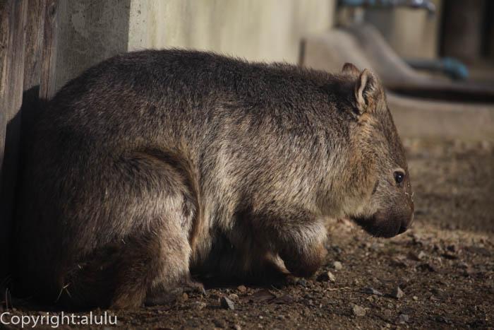東山動物園 コモンウォンバット 動物写真
