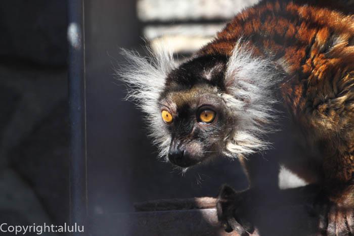 マダガスカル サル クロキツネザル