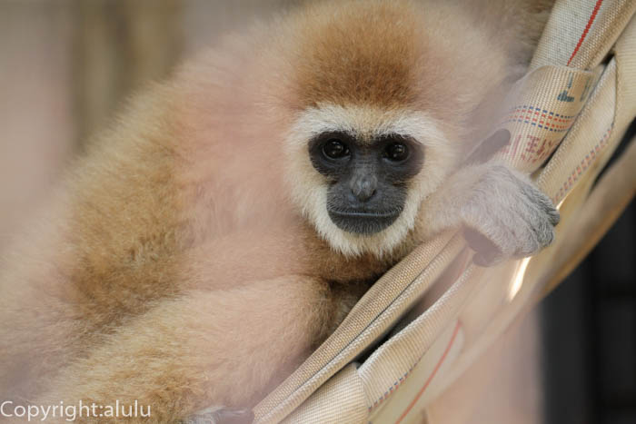 シロテテナガザル 動物写真