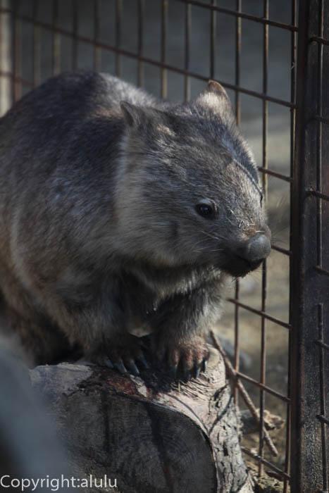 東山動物園 コモンウォンバット