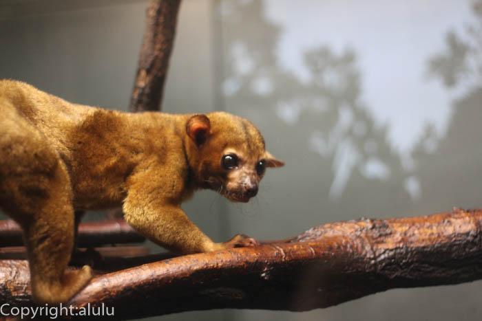 東山動物園 自然動物館 キンカジュー