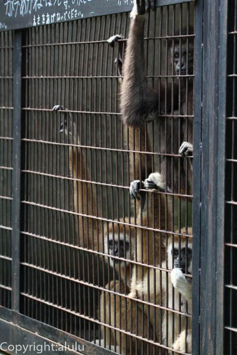 宇都宮動物園 シロテテナガザル 画像