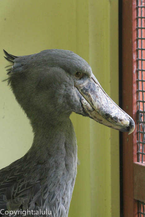 高知県立のいち動物公園 ハシビロコウ