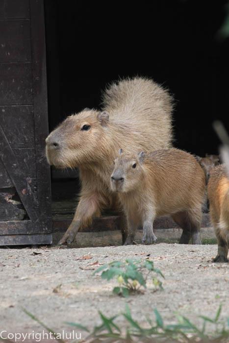 とべ動物園 カピバラ