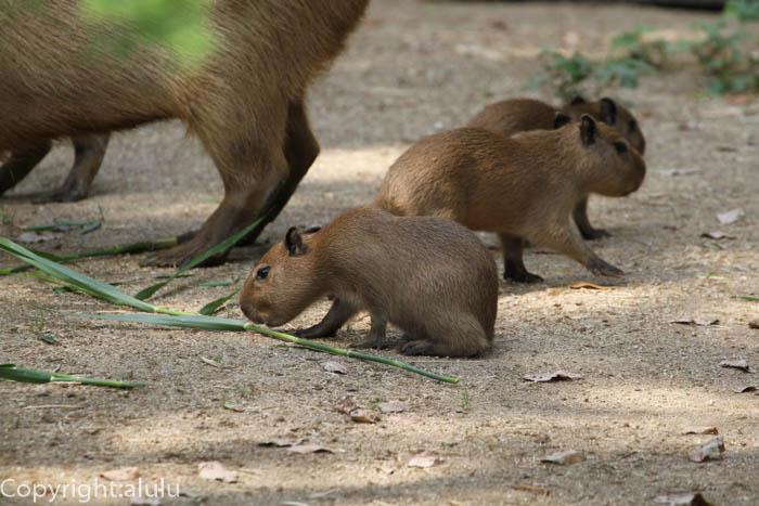 とべ動物園 カピバラ 赤ちゃん