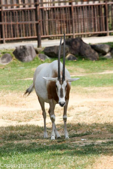 とべ動物園 シロオリックス