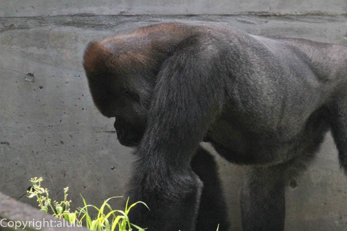 八木山動物園 ニシゴリラ
