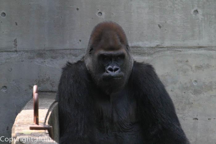 八木山動物園 ゴリラ