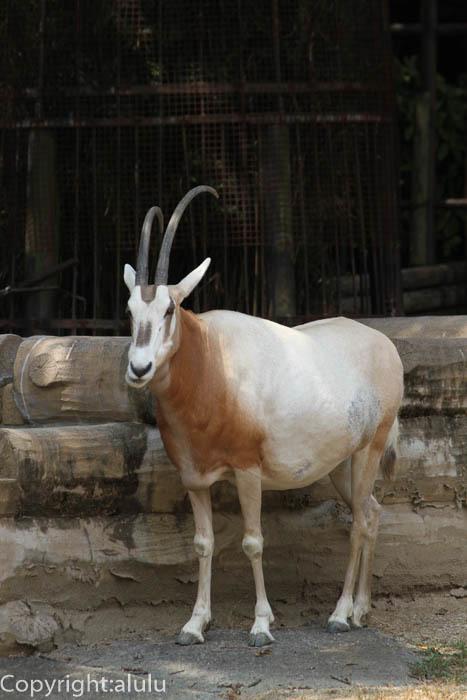 シロオリックス 動物写真