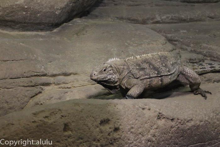 東山動物園 爬虫類 ケイマンイワイグアナ