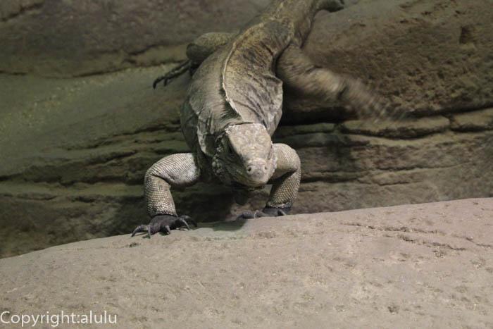 東山動物園 ケイマンイワイグアナ