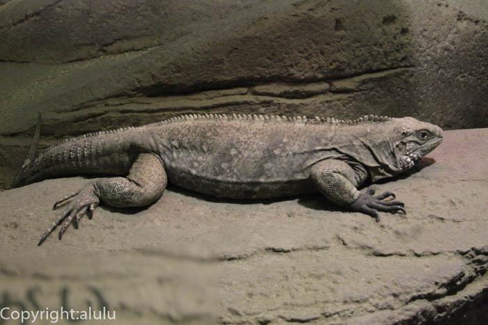 爬虫類 ケイマンイワイグアナ