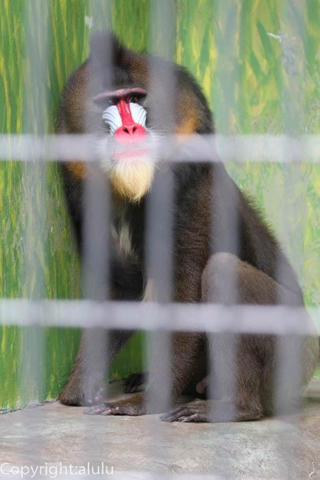 日本平動物園 マンドリル