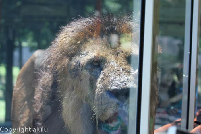 多摩動物公園 動物写真 ライオン 画像