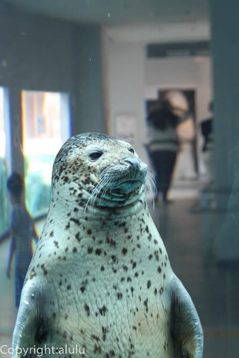 日本平動物園 猛獣館299 ゴマフアザラシ