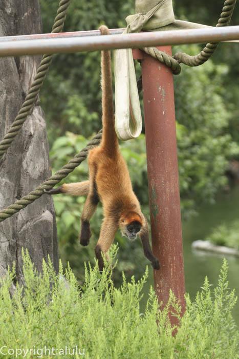 日本平動物園 ジェフロイクモザル