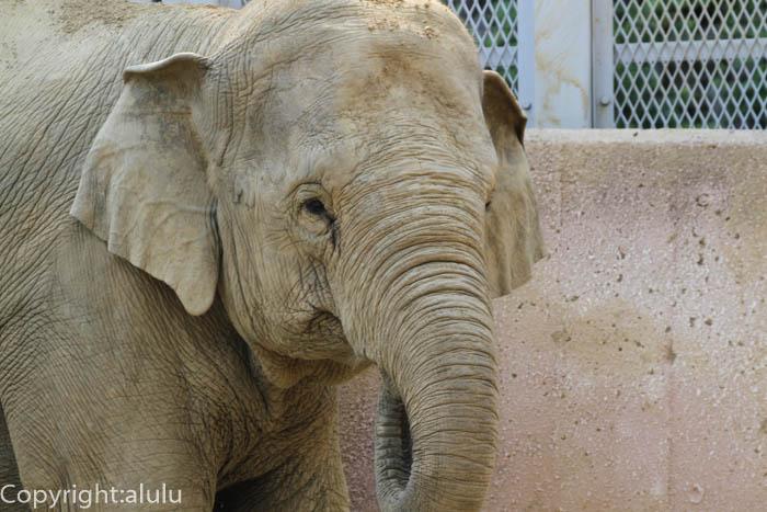 多摩動物公園 アジアゾウ