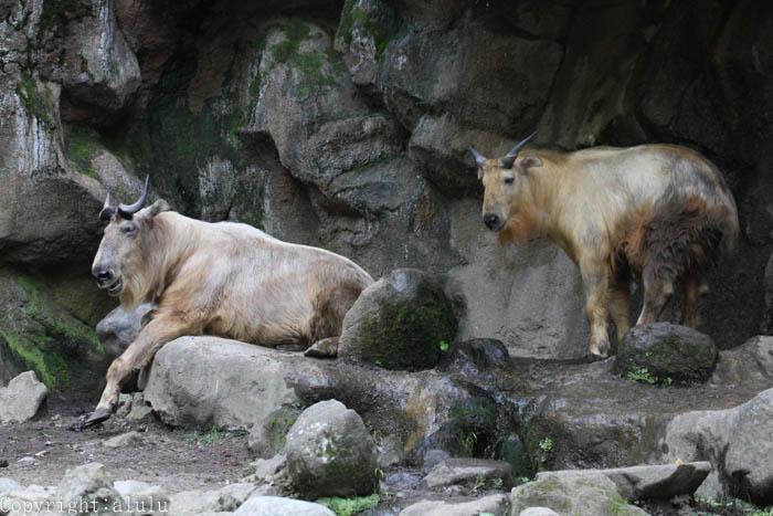 ゴールデンターキン 動物写真