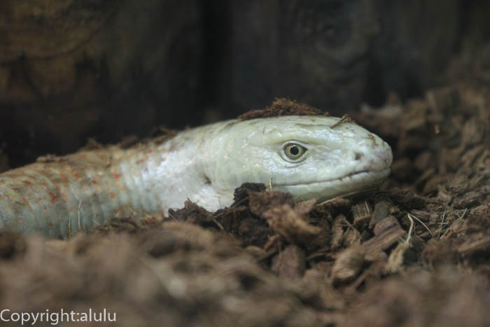 東山動物園 バルカンヘビガタトカゲ