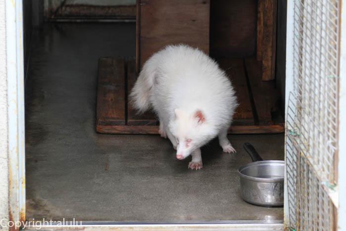 飯田市立動物園 白い タヌキ