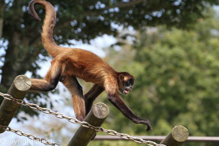 浜松市動物園 サル ジェフロイクモザル
