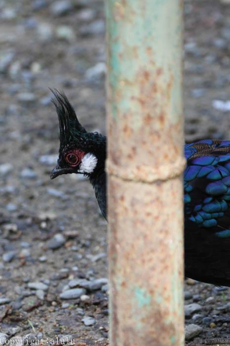 パラワンコクジャク 鳥類 動物写真