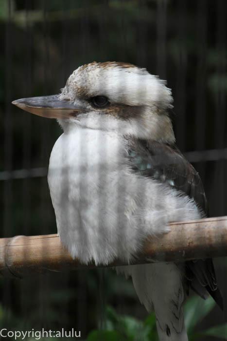 東山動物園 ワライカワセミ 画像