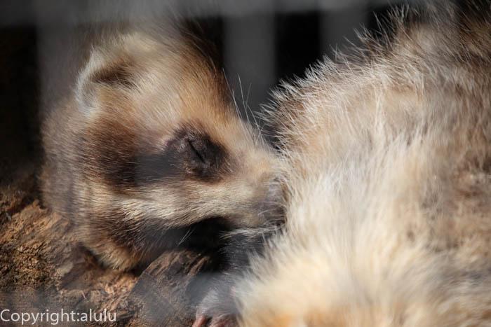 野毛山動物園 二ホンアナグマ 画像