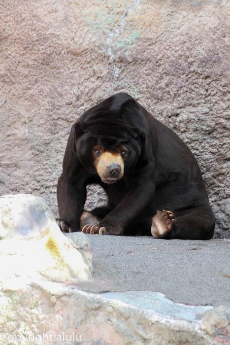 浜松市動物園 動物写真 マレーグマ
