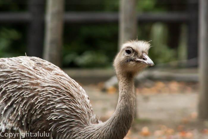金沢動物園 ダーウィンレア 画像