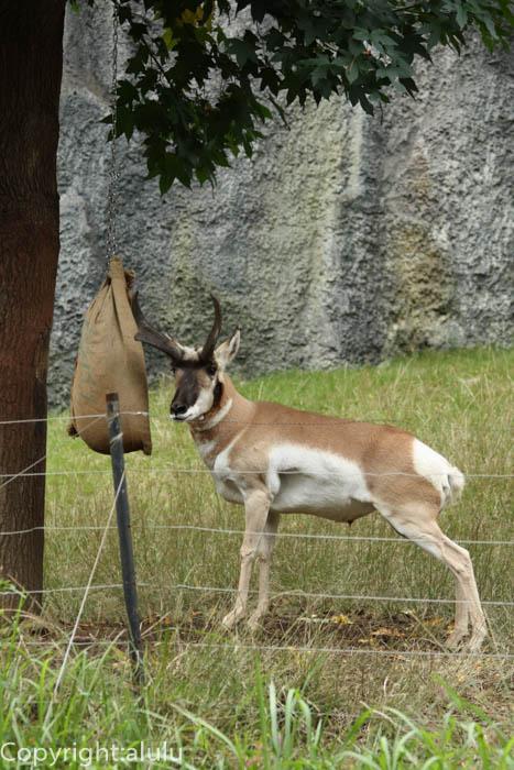 動物写真 金沢動物園 アメリカプロングホーン