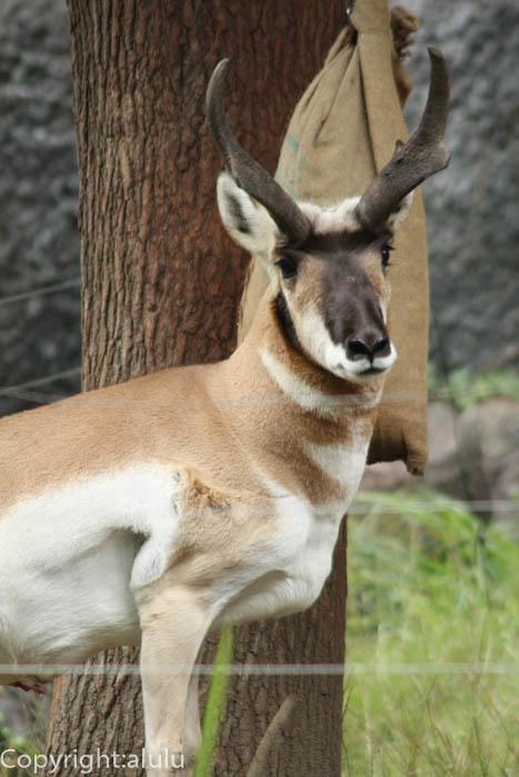 動物園 アメリカプロングホーン
