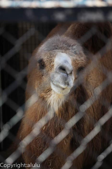 野毛山動物園 ツガルさん ラクダ