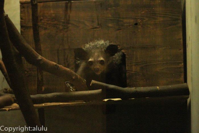 上野動物園 アイアイ 画像