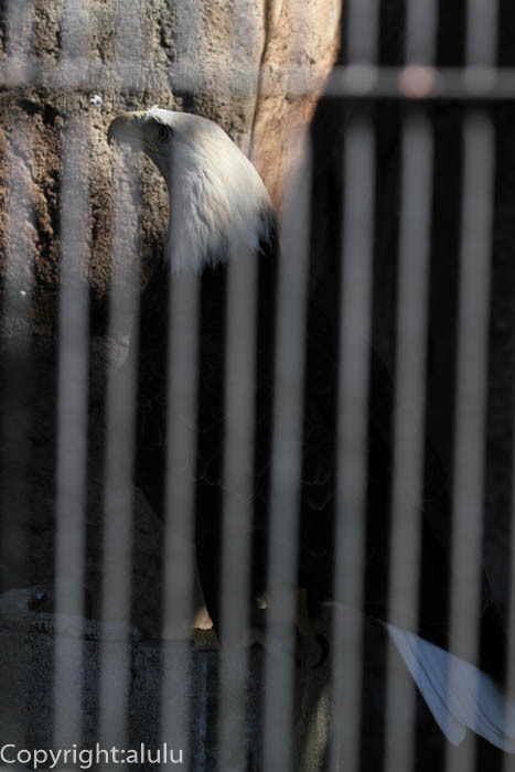 ハクトウワシ 動物写真