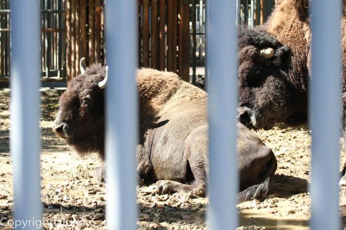 浜松市動物園 アメリカバイソン