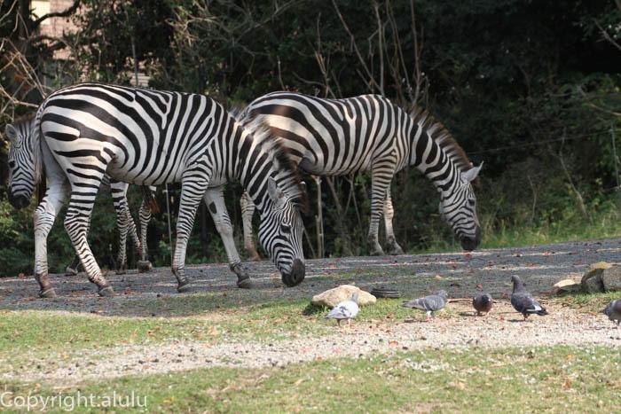 天王寺動物園 シマウマ 画像