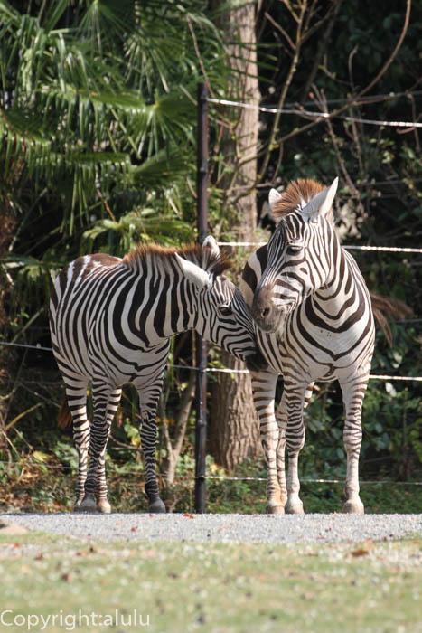 天王寺動物園 グラントシマウマ