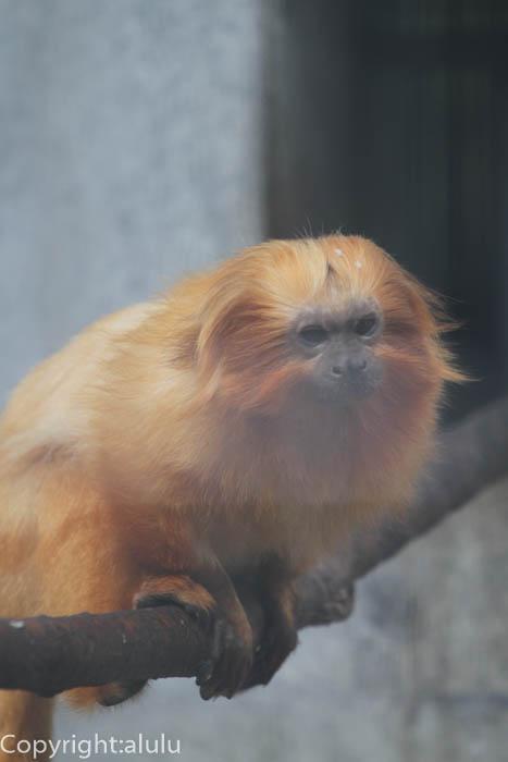 浜松市動物園 ゴールデンライオンタマリン