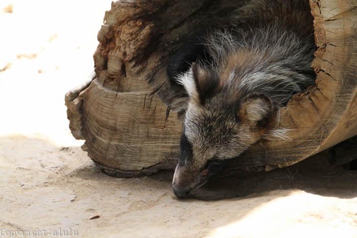 ホンドタヌキ 動物写真